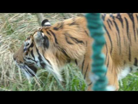 Tiger im London Zoo